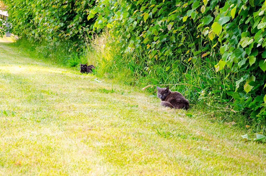 svart-olands-katt